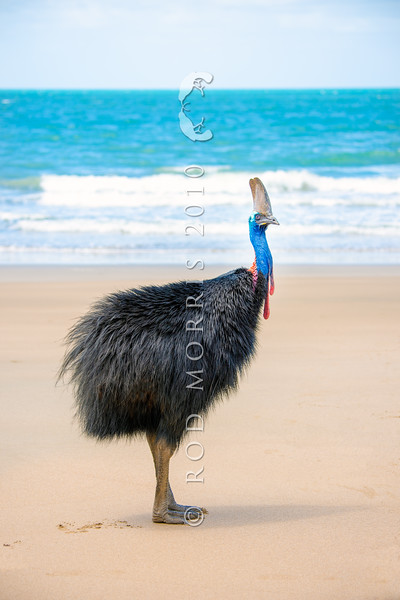 DSC_2235  Double-wattled  Cassowary (Casuarius casuarius johnsonii) adult female standing on beach. Normally shy birds of the dense tropical rainforests of Australia, New Guinea and some of its neighbouring islands. Occurs from sea level to 3,050m in mountain forest. Moresby Range National Park, Queensland *