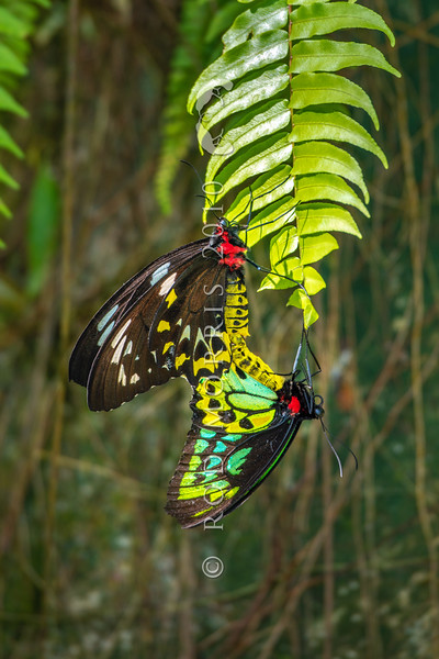 DSC_2736 Cairns Birdwing (Ornithoptera euphorion) mating pair at rest. Largest of all Australian butterflies and found in rainforest along northeastern Australia from Mackay to Cooktown. Etty Bay, Queensland *