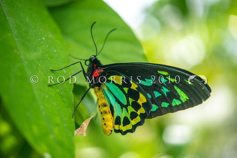 DSC_2706 Cairns Birdwing (Ornithoptera euphorion) male at rest. Largest of all Australian butterflies and found in rainforest along northeastern Australia from Mackay to Cooktown. Etty Bay, Queensland *