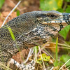 DSC_2291 Lace monitor or lace goanna (Varanus varius) Australian members of the monitor lizard family are commonly known as goannas. This species is the second-largest monitor in Australia after the perentie, it can grow as long as 2.1 m (over 6.8 ft). Etty Bay, Queensland *