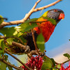 DSC_1783  Swainsons lorikeet (Trichoglossus moluccanus moluccanus) the 'rainbow lorikeet' has about 20 subspecies in some classifications; although, several of these are sometimes split off to form up to four additional species. Rainbow lories harvest all of the pollen and/or nectar that they required to meet their daily nutritional needs in two or three hours. They fill the ecological niche of flower pollinator that bats and bees fill in other habitats, and indeed lories are primary pollinators on many of the small islands they inhabit. Gold Coast, Queensland *