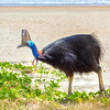 DSC_2269  Double-wattled  Cassowary (Casuarius casuarius johnsonii) adult female walking on beach. Normally shy birds of the dense tropical rainforests of Australia, New Guinea and some of its neighbouring islands. Occurs from sea level to 3,050m in mountain forest. Moresby Range National Park, Queensland *
