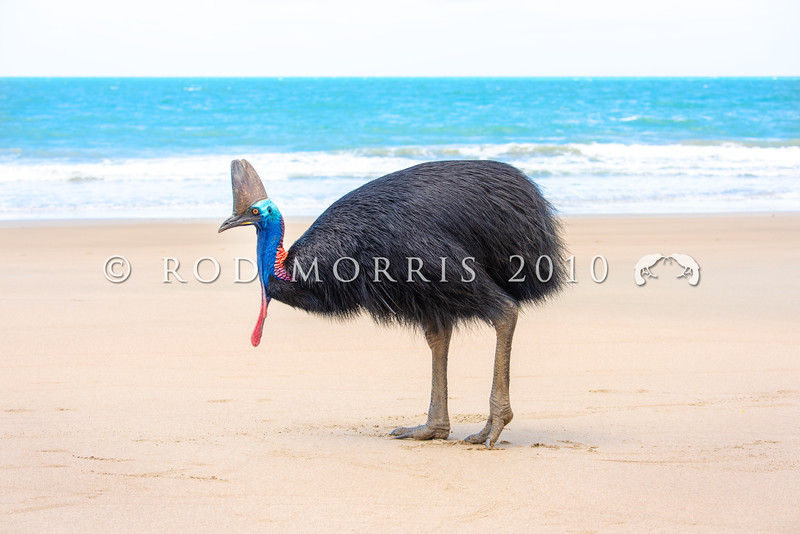 DSC_2228  Double-wattled  Cassowary (Casuarius casuarius johnsonii) adult female standing on beach. Normally shy birds of the dense tropical rainforests of Australia, New Guinea and some of its neighbouring islands. Occurs from sea level to 3,050m in mountain forest. Moresby Range National Park, Queensland *