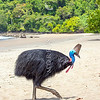 DSC_2244  Double-wattled  Cassowary (Casuarius casuarius johnsonii) adult female walking on beach. Normally shy birds of the dense tropical rainforests of Australia, New Guinea and some of its neighbouring islands. Occurs from sea level to 3,050m in mountain forest. Moresby Range National Park, Queensland *