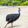 DSC_2243  Double-wattled  Cassowary (Casuarius casuarius johnsonii) adult female walking on beach. Normally shy birds of the dense tropical rainforests of Australia, New Guinea and some of its neighbouring islands. Occurs from sea level to 3,050m in mountain forest. Moresby Range National Park, Queensland *