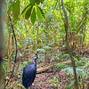 DSC_2612  Double-wattled  Cassowary (Casuarius casuarius johnsonii)  adult female in forest. Shy birds of the dense tropical rainforests of Australia, New Guinea and some of its neighbouring islands. Occurs from sea level to 3,050m in mountain forest. Kuranda National Park, Queensland *