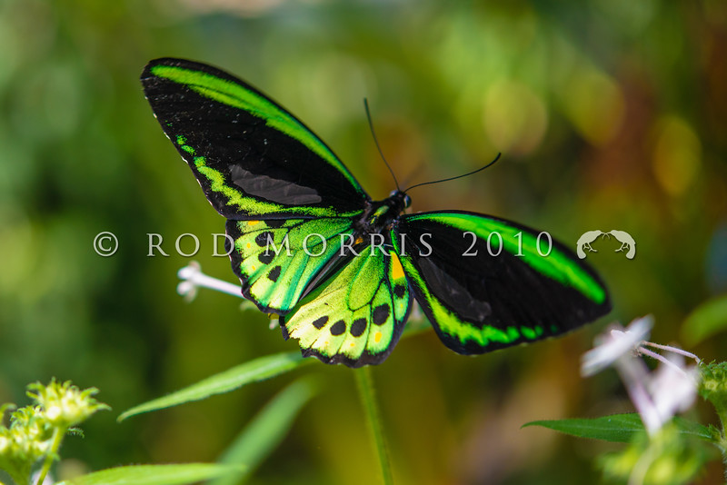 DSC_2709 Cairns Birdwing (Ornithoptera euphorion) male flying. Largest of all Australian butterflies and found in rainforest along northeastern Australia from Mackay to Cooktown. Etty Bay, Queensland *