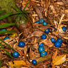 DSC_2179  Blue quandong (Elaeocarpus angustifolius) fruits lying on the forest floor. These large (20-30mm), bitter, edible fruit, are swallowed whole by cassowaries, wompoo pigeon and spectacled flying foxes, which pass the nut undamaged. Kuranda National Park, North Queensland *