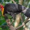 DSC_2192 Australian brush-turkey (Alectura lathami) dominant male with large yellow wattle. A common, widespread species of megapode, or mound-building bird, found in eastern Australia from Far North Queensland to the south coast of New South Wales. Kuranda National Park,Queensland *