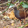 DSC_2534 Orange-footed scrubfowl (Megapodius reinwardt castanonotus)  as with other megapodes, it nests in large mounds of sand, leaf litter and other debris where the heat generated by the decomposition of organic material serves to incubate the eggs. Five subspecies are found across northern Australia, southern New Guinea and many islands in the Lesser Sunda Islands. Kuranda, Queensland