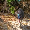 DSC_2274  Double-wattled  Cassowary (Casuarius casuarius johnsonii) adult female. Shy birds of the dense tropical rainforests of Australia, New Guinea and some of its neighbouring islands. Occurs from sea level to 3,050m in mountain forest. Moresby Range National Park, Queensland *