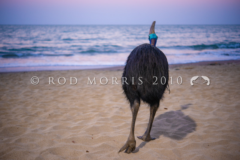 DSC_2380 Double-wattled  Cassowary (Casuarius casuarius johnsonii) adult female walking on beach at dusk. Normally shy birds of the dense tropical rainforests of Australia, New Guinea and some of its neighbouring islands. Occurs from sea level to 3,050m in mountain forest. Moresby Range National Park, Queensland *