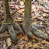 DSC_2084  Double-wattled  Cassowary (Casuarius casuarius johnsonii)  detail of large feet. Shy birds of the dense tropical rainforests of Australia, New Guinea and some of its neighbouring islands. Occurs from sea level to 3,050m in mountain forest. Kuranda National Park, Queensland *