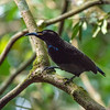 DSC_2196 Victoria's riflebird (Ptiloris victoriae) male. Endemic to the Atherton Tableland region. Riflebirds are birds-of-paradise, the male displays by  erecting the feathers of his throat and sides to accentuate the bright colours of his plumage in the sunlight that pierces the dimness of the rainforest. He curves his rounded wings above his body and tilts his head back to expose his chin and throat to the light, and then moves from side to side in a fashion that looks almost mechanical. Kuranda National Park, Northeasten Queensland *