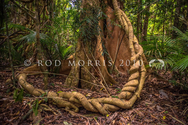 DSC_2814  Braided forest vines encircle the buttressed roots of a rainforest tree in Danbulla State Forest, Atherton Tablelands *