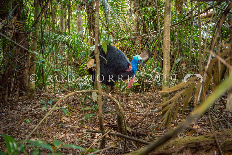 DSC_2128  Double-wattled  Cassowary (Casuarius casuarius johnsonii)  adult female in forest. Shy birds of the dense tropical rainforests of Australia, New Guinea and some of its neighbouring islands. Occurs from sea level to 3,050m in mountain forest. Kuranda National Park, Queensland *