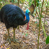DSC_2086  Double-wattled  Cassowary (Casuarius casuarius johnsonii)  adult female in forest. Shy birds of the dense tropical rainforests of Australia, New Guinea and some of its neighbouring islands. Occurs from sea level to 3,050m in mountain forest. Kuranda National Park, Queensland *