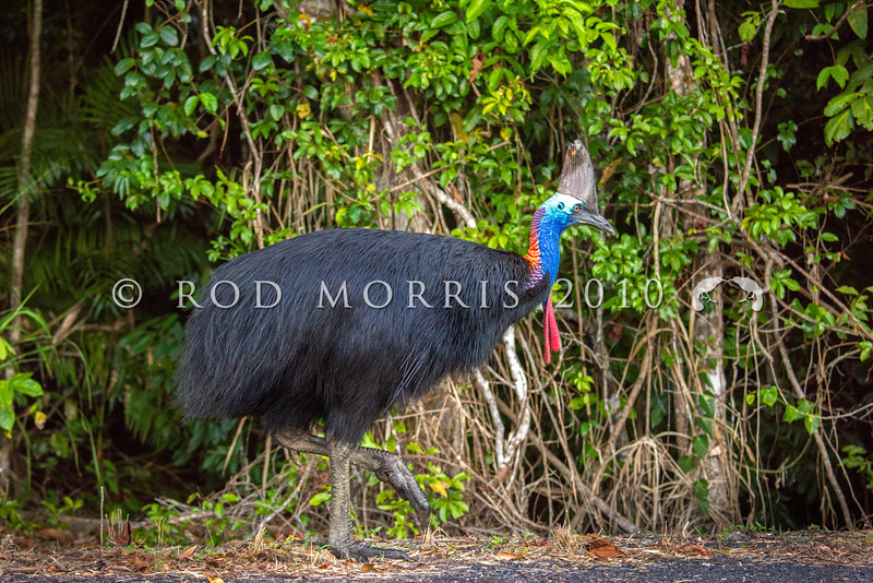 DSC_2414  Double-wattled  Cassowary (Casuarius casuarius johnsonii) adult female. Shy birds of the dense tropical rainforests of Australia, New Guinea and some of its neighbouring islands. Occurs from sea level to 3,050m in mountain forest. Moresby Range National Park, Queensland *