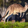 DSC_1870 Eastern grey kangaroo (Macropus giganteus) adult female leaping with joey in pouch in late afternoon. Coombabah Lakelands, Gold Coast *