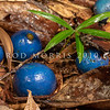 DSC_2188  Blue quandong (Elaeocarpus angustifolius) fruits lying on the forest floor. These large (20-30mm), bitter, edible fruit, are swallowed whole by cassowaries, wompoo pigeon and spectacled flying foxes, which pass the nut undamaged. Kuranda National Park, North Queensland *