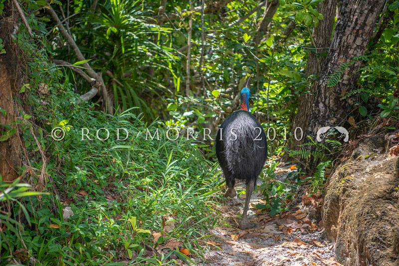 DSC_2275  Double-wattled  Cassowary (Casuarius casuarius johnsonii) adult female. Shy birds of the dense tropical rainforests of Australia, New Guinea and some of its neighbouring islands. Occurs from sea level to 3,050m in mountain forest. Moresby Range National Park, Queensland *