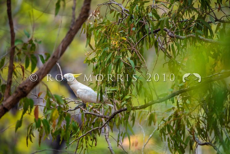 DSC_2808  Greater sulphur crested cockatoo (Cacatua galerita galerita ) in dry schlerophyll forest. Gadgarra, Queensland *