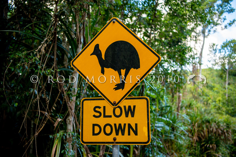 DSC_2130  Double-wattled  Cassowary (Casuarius casuarius johnsonii) are typically shy birds of the dense tropical rainforests of Australia, however speeding cars now pose a major threat to cassowaries crossing forested highways. Road crossing signs warn motorists to drive responsably. Kuranda, Queensland *