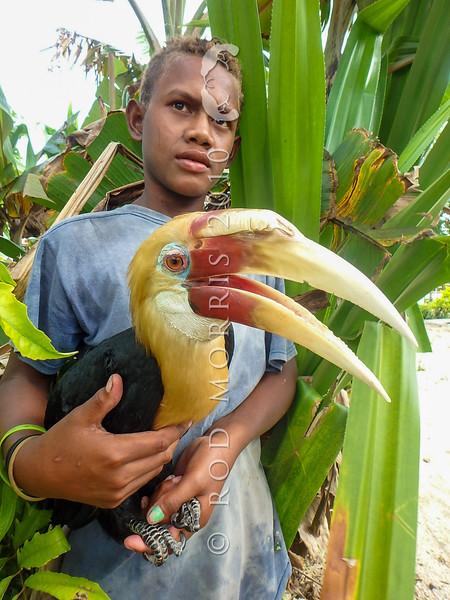A villager holds a tame adult male Blyth's hornbill (Rhyticeros plicatus). Solomons *