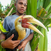 A villager holds a tame adult male Blyth's hornbill (Rhyticeros plicatus). Solomons