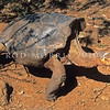 18903-80007 Espaniola giant tortoise (Chelonoidis hoodensis) a race of giant  tortoise from the dry, arid island of Espaniola, displaying the 'saddleback' shaped shell, characteristic of dry islands. Espaniola giant tortoises are browsers, stretching their necks high in order to reach sparse dry vegetation growing overhead, as there is little to graze on the ground during hot months of the year. They were almost hunted to the point of extinction for their meat, by early sailors and fishermen, while their habitat has been eaten away by goats introduced from the mainland.