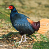 21001-06903 Crestless fireback (Lophura erythrophthalma) a species of tropical pheasant found in the moist lowland forests of Brunei, Indonesia, Malaysia, and Singapore. It is threatened by habitat loss. Kuala Lumpur, Malaysia.