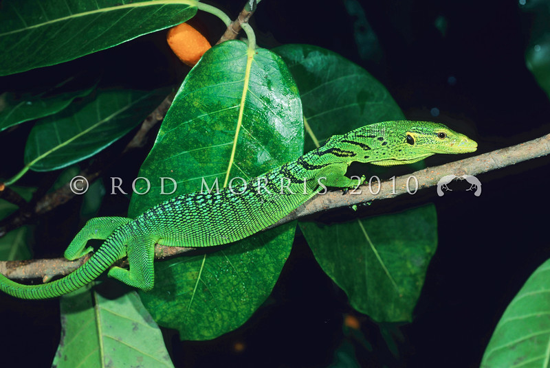 17003-49505 Emerald tree monitor (Varanus prasinus kordensis) young adult in Ficus tree. Biak Island