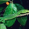 17003-49505 Emerald tree monitor (Varanus prasinus kordensis) young adult in Ficus tree. Biak Island *