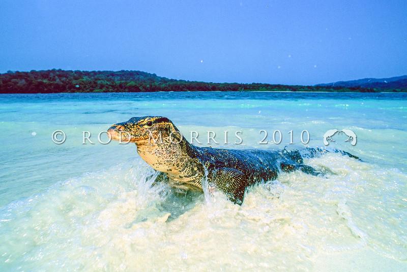 21003-49515  Salvator's monitor (Varanus salvator) adult emerging from sea. Peuchang Island, West Java *