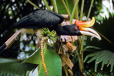 21001-16002  Rhinoceros hornbill (Buceros rhinoceros) one of the largest of all hornbills. Females are white-eyed while males have red eyes
