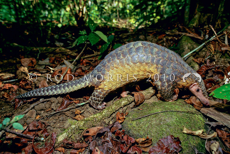 21002-36015 Sunda pangolin (Manis javanica) an inhabitant of both primary and secondary growth forests, feeding largely on ants and termites. Found throughout the Greater and Lesser Sunda Region, it's very rare on the island of Java now because of ceremonial use on funeral pyres. This species is larger and paler than the closely related Chinese pangolin.