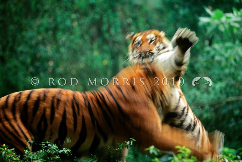 21002-59005  Bengal tiger (Panthera tigris tigris) two animals fighting
