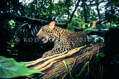 21002 Javan leopard (Panthera pardus melas) resting. A leopard subspecies confined to the island of Java and now critically endangered. The population is estimated at less than 250 mature individuals, and the population continues to decrease. Javan leopards have either a normal spotted coat, or a recessive phenotype resulting in an all black coat.
