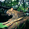 21002 Javan leopard (Panthera pardus melas) resting. A leopard subspecies confined to the island of Java and now critically endangered. The population is estimated at less than 250 mature individuals, and the population continues to decrease. Javan leopards have either a normal spotted coat, or a recessive phenotype resulting in an all black coat *