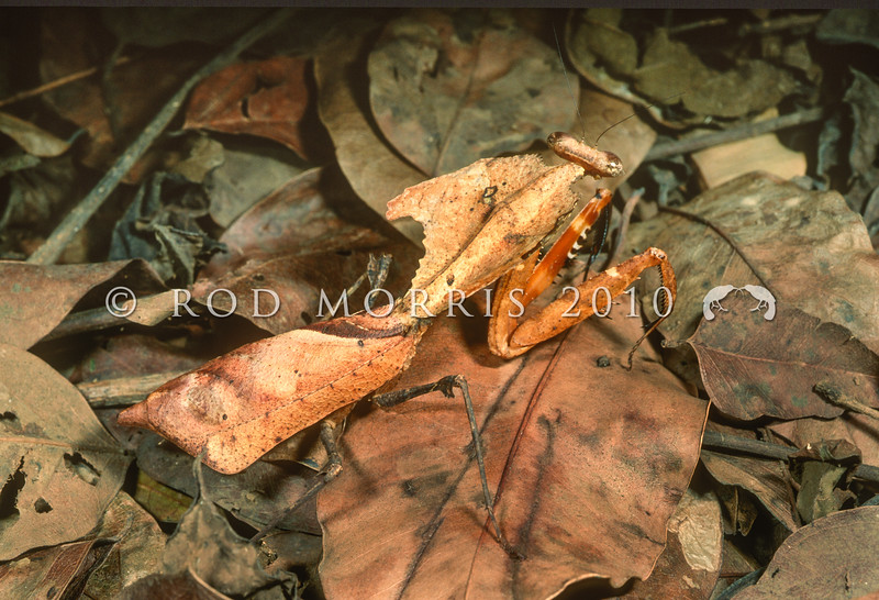 21005-22713 Giant dead leaf mantis (Deroplatys dessicata) adult female amongst leaf litter. This mantis inhabits scrubland and forests in Indonesia and Malaysia. Kuala Lumpur, Malaysia