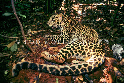 21002-58022  Javan leopard (Panthera pardus melas)  a leopard subspecies confined to the island of Java and now critically endangered. The population is estimated at less than 250 mature individuals, and the population continues to decrease. Javan leopards have either a normal spotted coat, or a recessive phenotype resulting in an all black coat.