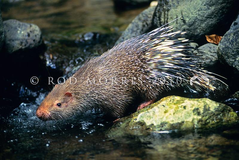 21002-90002  Sunda short-tailed porcupine (Hystrix javanica) drinking from forest stream *