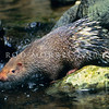 21002-90002  Sunda short-tailed porcupine (Hystrix javanica) drinking from forest stream