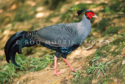 20001-06904 Siamese, or Diard's fireback (Lophura diardi) a species of tropical pheasant distributed through the lowland and evergreen forests of Cambodia, Laos, Thailand and Vietnam in Southeast Asia. It is the national bird of Thailand.