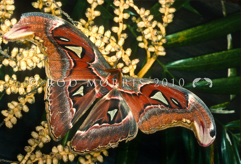 21005-46003 Atlas moth (Attacus atlas) female. Females of this species are considered among the largest moths in the world, a record specimen from Java measured 262 mm. This moth is found in the tropical and subtropical forests of Southeast Asia, and is common across the Malay archipelago. Kuala Lumpur, Malaysia *