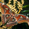 21005-46003 Atlas moth (Attacus atlas) female. Females of this species are considered among the largest moths in the world, a record specimen from Java measured 262 mm. This moth is found in the tropical and subtropical forests of Southeast Asia, and is common across the Malay archipelago. Kuala Lumpur, Malaysia