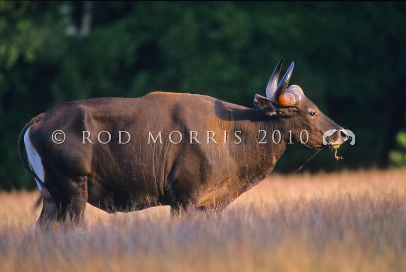 21002-61610  Java Banteng (Bos javanicus javanicus) wild bull
