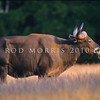 21002-61610  Java Banteng (Bos javanicus javanicus) wild bull *