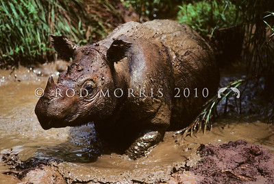 21002-59701  Western Sumatran rhino (Dicerorhinus sumatrensis sumatrensis) in wallow. Less than 300 individuals of this sub-species remain