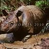 21002-59701  Western Sumatran rhino (Dicerorhinus sumatrensis sumatrensis) in wallow. Less than 300 individuals of this sub-species remain *